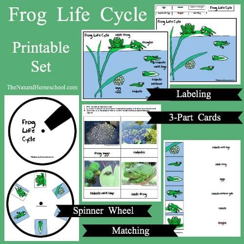 Frog Life Cycle for Kids {Printable}
