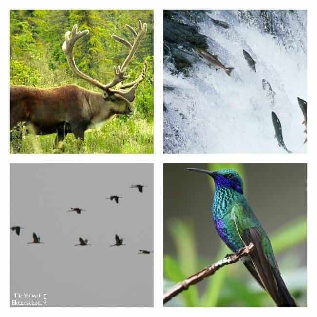 Animal Migration in Winter ~ What is Migration? - The Natural ...