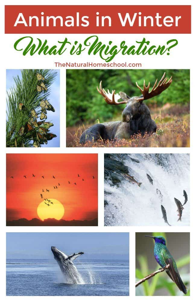 Animals that migrate in winter