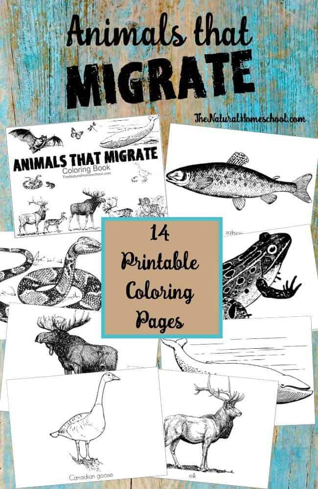 Coloring Pages Of Animals That Migrate : Animals that migrate in winter printable coloring book