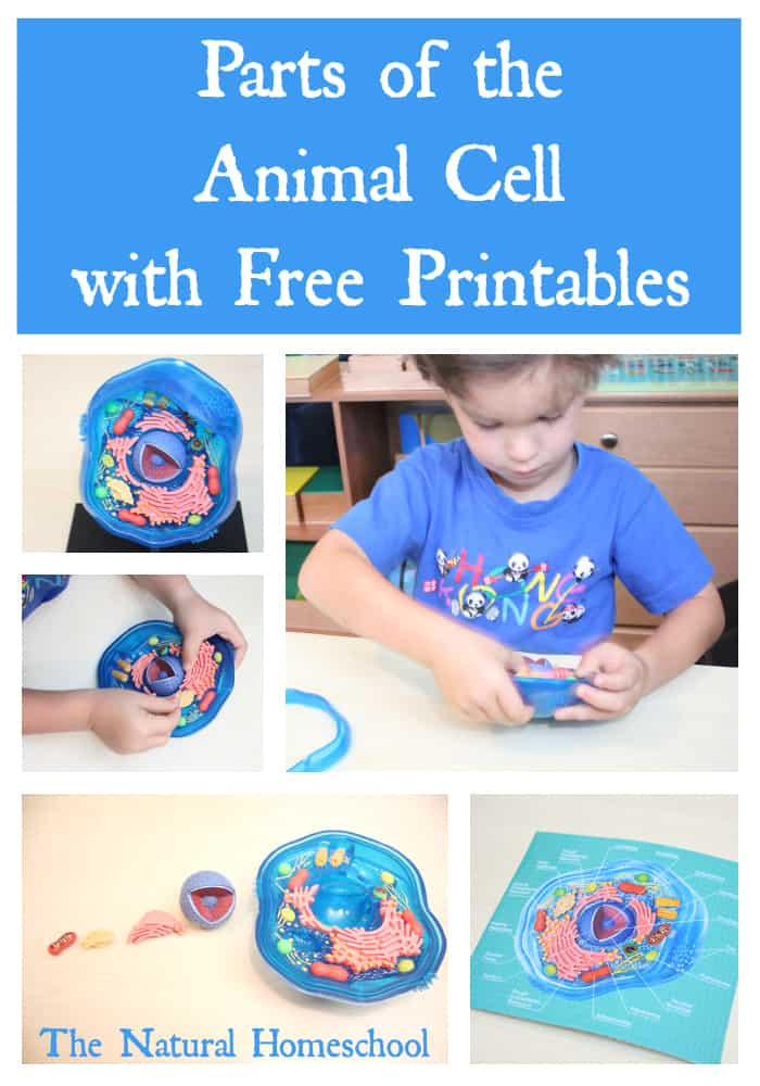 This lesson is on the Animal Cell. We learn its parts, we label them, we draw them, we use a hands-on 3D model and use a printable set (FREE to you!) to make it all easy to retain.