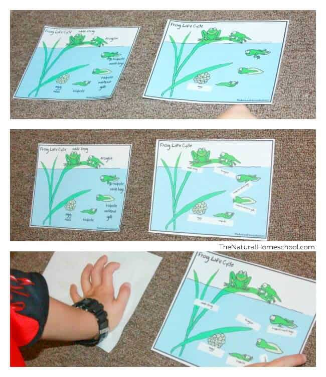Welcome to our Frog Life Cycle for Kids post! It is such a great post, full of activities that you and your children will learn a lot from (in a fun way) with four fantastic printables that you can get right here and use in your own homeschools!