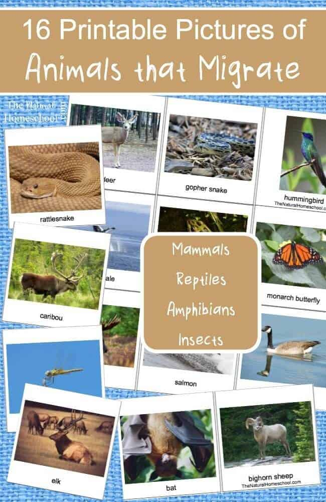 We had so much fun with our famous activity on animals in Winter that gives us an overview of hibernation, adaptation and migration (with free printable) what we wanted to expand on it some more and go more in-depth with our unit. Here, you will find free printable pictures of animals that migrate in winter! There are 16 beautiful cards!