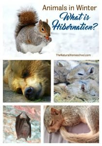 Animals in Winter Unit: What is Hibernation?