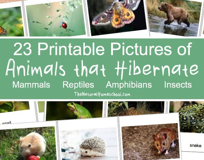 Here, you will find free printable pictures of animals that hibernate in winter! There are 23 beautiful cards!