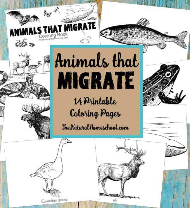 Coloring Pages Of Animals That Migrate : Animals that migrate in winter printable coloring pages