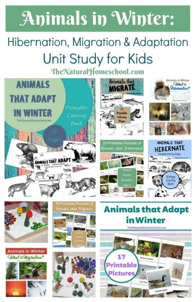We have been really enjoying this unit study on Animals in Winter. We have learned and researched a lot! Do you know what hibernation, migration and adaptation are and what they entail?
