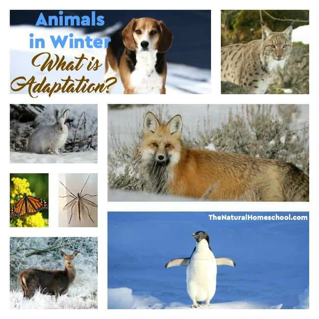 Animals in Winter have very unique behaviors and habits. Take a look at the three kinds of adaptations.