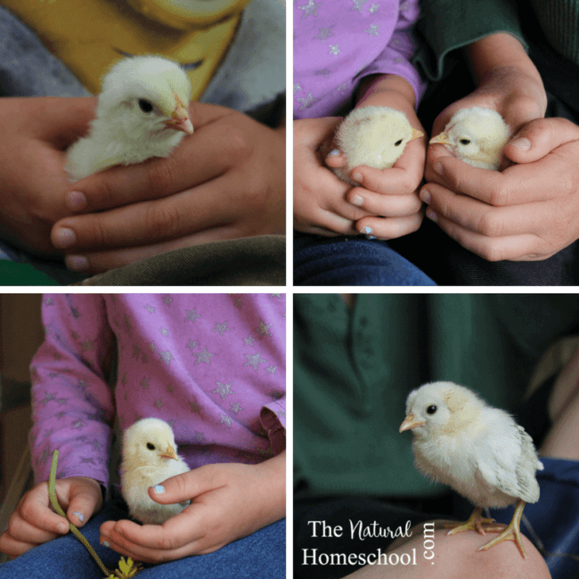 Living on a farm allows us abundant opportunity to observe and participate in many of the farm animals life cycles, but the chicken life cycle have been, by far, our favorite.