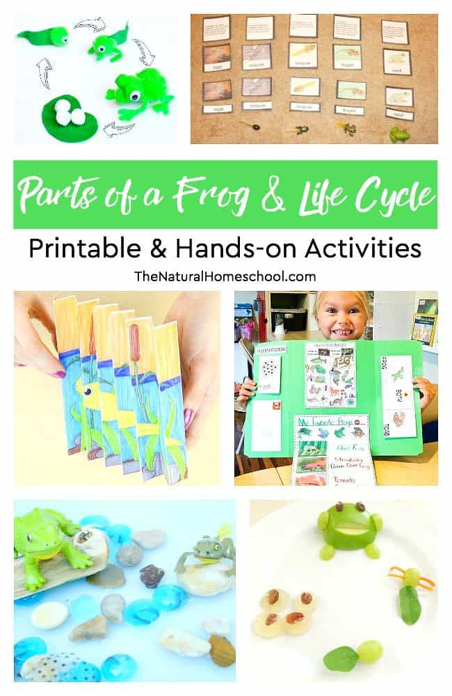 In this post, we share a list of fun parts of a frog and life cycle hands-on and printable activities that your kids will love, too!