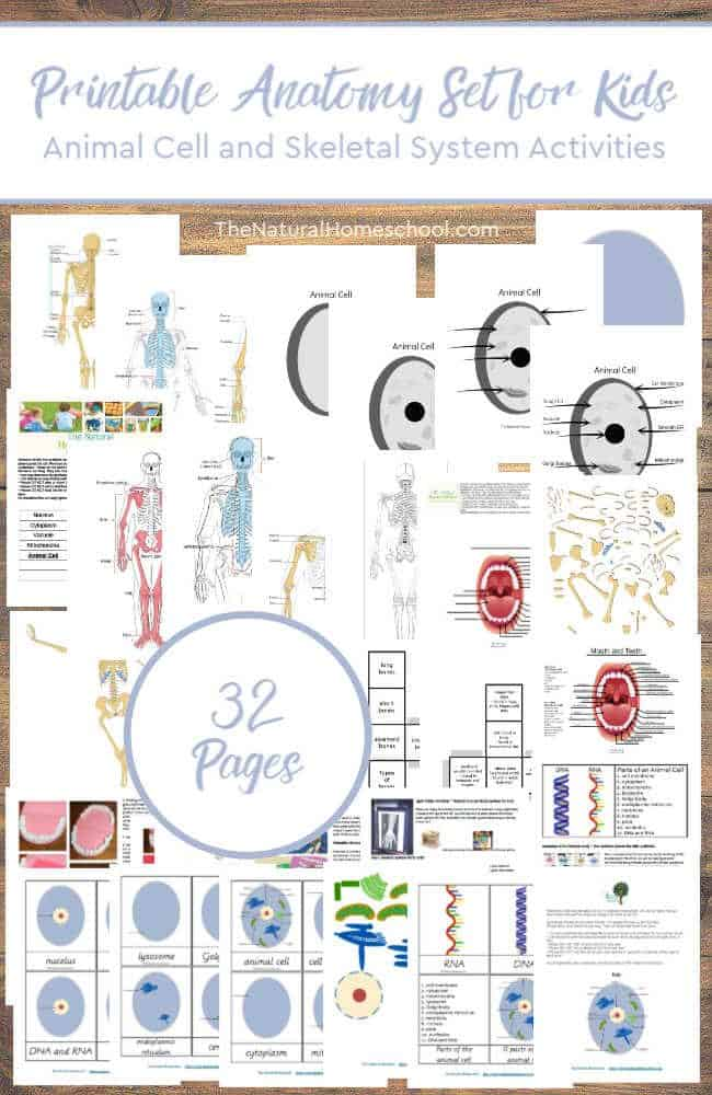 Here is a wonderful Science set of printable activities for kids to learn the most about the Animal Cell and the Skeletal System activities are amazing! So come and check out this bundle! It's a great printable Anatomy set for kids.