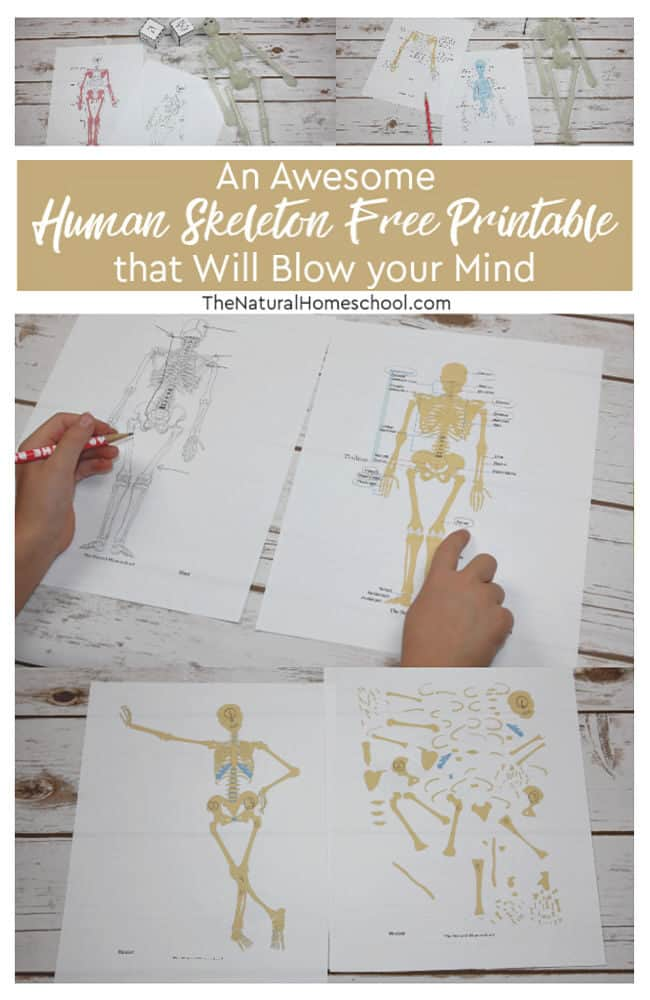 photograph about Skeleton Printable titled An Amazing Human Skeleton Absolutely free Printable that Will Blow your