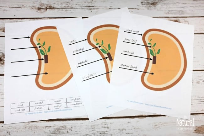 Are you ready to give you children a wonderful and fun learning experience by going into this Botany lesson? Come and check this Montessori Parts of a Seed Printable Bundle out!